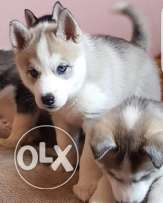 Husky puppies for sale with pedigree and microchip