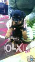 Rottweiler pure 55 days with paper