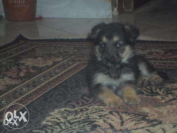 a german shaperd dog for sale العجوزة -  1