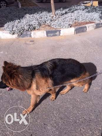 For Marriage Germane Shepherd (male) 20 month old مدينتي -  1