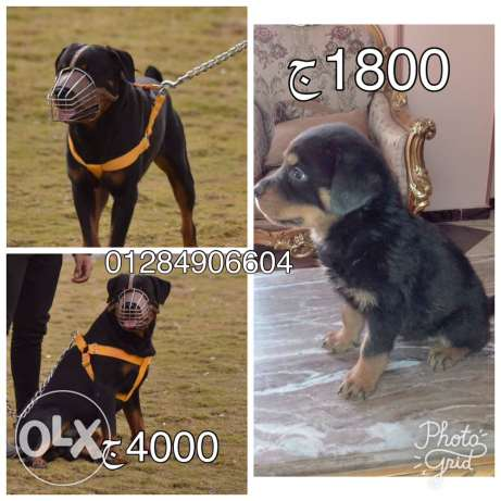 Rottwailler Dogs