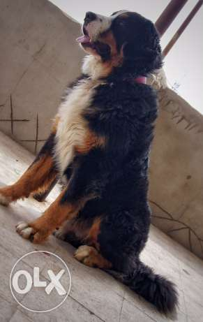 Bernese mountain dog for mating
