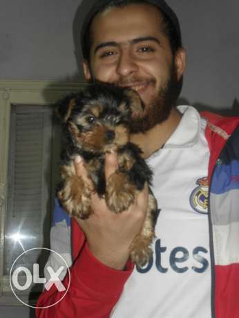 Yorkshire terrier imported parents
