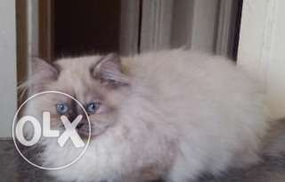 himalayan female cat for sale