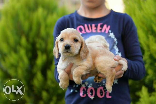 Cocker Spaniel puppies Ready for new homes مدينتي -  2