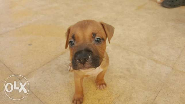 Pitbull Puppies for Sale 6 أكتوبر -  6
