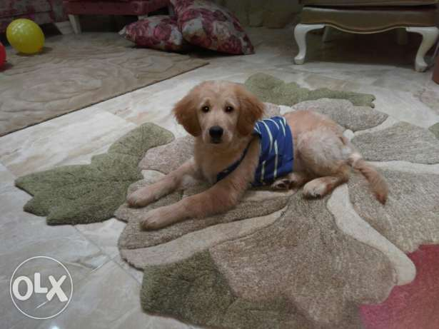 Golden Retriever 5 and half month for sale
