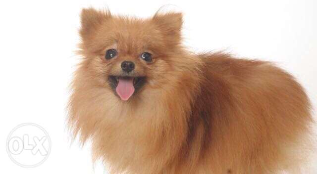 Pomeranian Boo For The FIRST Time In Egypt Impoted With All Documents القاهرة الجديدة -  1