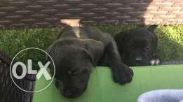 5 Cane Corso puppies for sale.