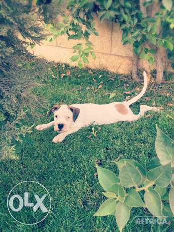 For Sale Beautiful Pure White Boxer Puppie مصر الجديدة -  3