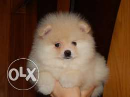 For sale best puppies Pomeranian imported with all documents fci