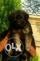German Shepherd puppies for sale long hair imported parents pure breed