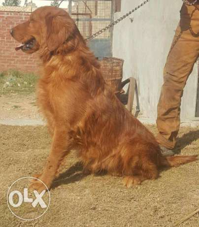 دكر جولدن للجواز فقط golden retriever for meeting only الإسكندرية -  3
