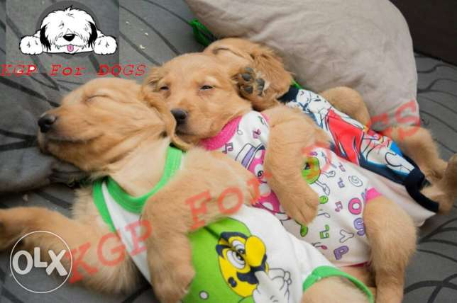 Yalaaaaa 4 Slae Excellent Breed Puppies Golden Retriever Males & Femal