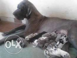 Puppys great dane for sale full europ blood جراوي للبيع بعد الفطام