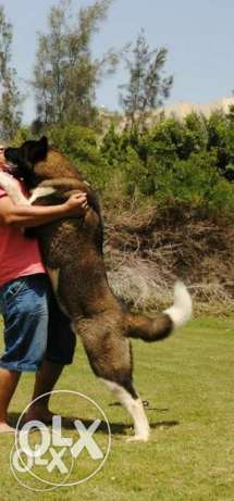 American akita male for mating 6 أكتوبر -  2