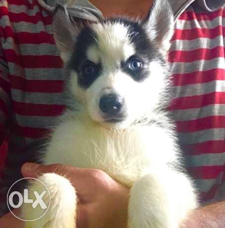 Husky puppies for great prices مدينة نصر -  1