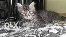 Long haired Egyptian Mau cat (uncommon breed)