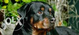 Female rottwailler 8 Months for sale
