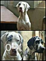 Greatdane Puppy, parents photo including