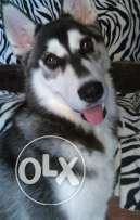 Pure Siberian husky puppies for sale ..