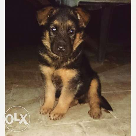 German Shepherd Dogs Pure 55 days