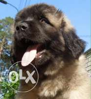For sale puppies Caucasian imported with all documents fci