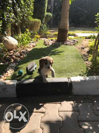 Female Beagle 47 days vaccinated Beagle الشيخ زايد -  2