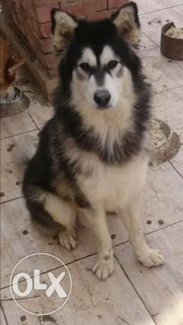 Pure siberian husky male - long hair -full mask -brown eyes - 1 year