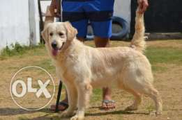 Golden retriever female age 1 and half gave birth before