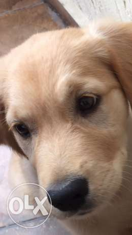 Golden Retriever Female شدس -  2