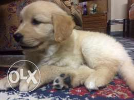 white golden 3 months now for sale