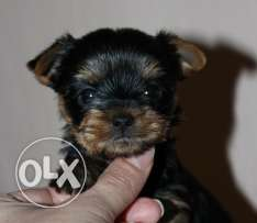 For sale best puppies mini Yorkshire imported with all documents fci
