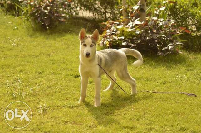 Siberian Husky puppy for sale. Male D.O.B:23jul المعادي -  5