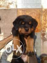 males and females rottweiler puppies age 47 day