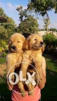Golden puppies for sale