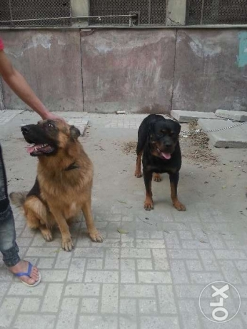 للزواج German shepherd & Rottweiler