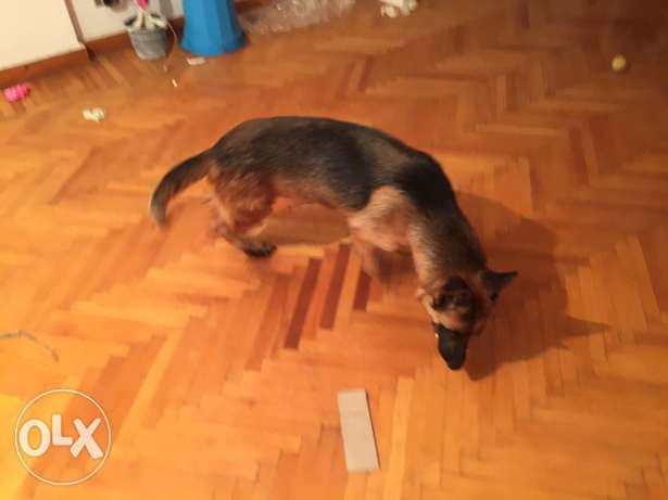 cezer german shepherd الإسكندرية -  5