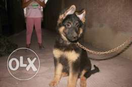 German Shepherd puppies long hair