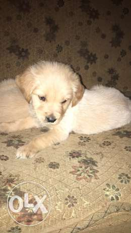 golden retrievers puppies for sale الإسكندرية -  1