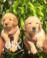 golden pupps for sale