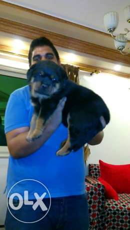 Rottwiller puppies for sale القاهره -  2