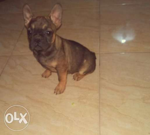 Imported French bulldog sable colour