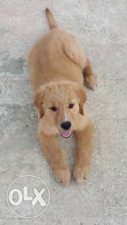 dog golden, ,male,for contact