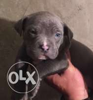 American Bully 50 day male