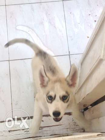Siberian husky for sale سيبيريان هاسكى