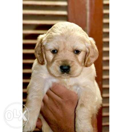 جراء جولدن ريتريفر golden retriever puppies