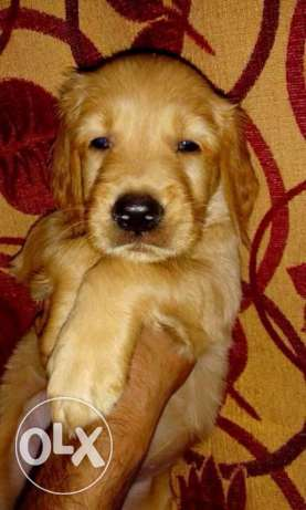 golden Puppies pure