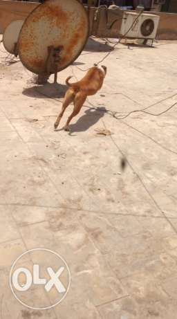 female pitbull for sale شيراتون -  6