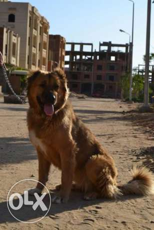 pure caucasion female dog for sale